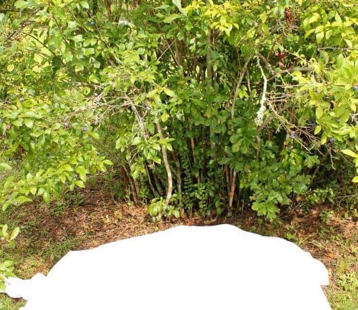 Put a sheet on the ground under the blueberry bush. When blueberries are very ripe you can just run your hands over the bunches and they will essentially fall to the ground!