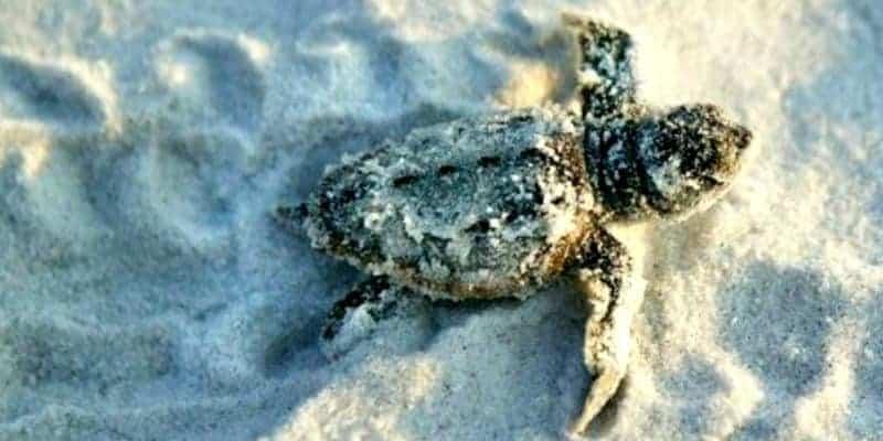 turtles gcfl