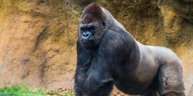 gorilla control